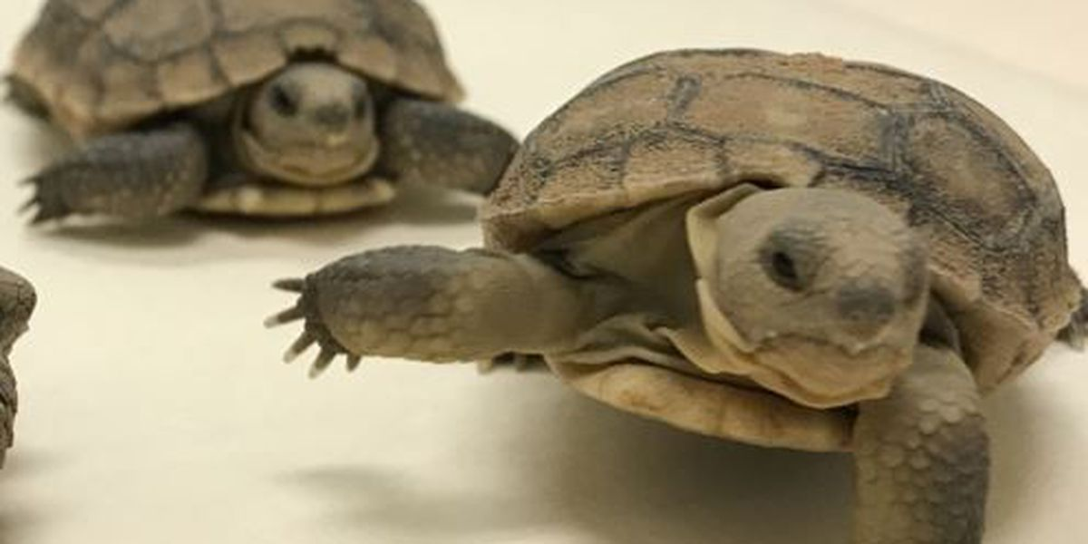 AZ Game and Fish accepting applications to adopt desert tortoises