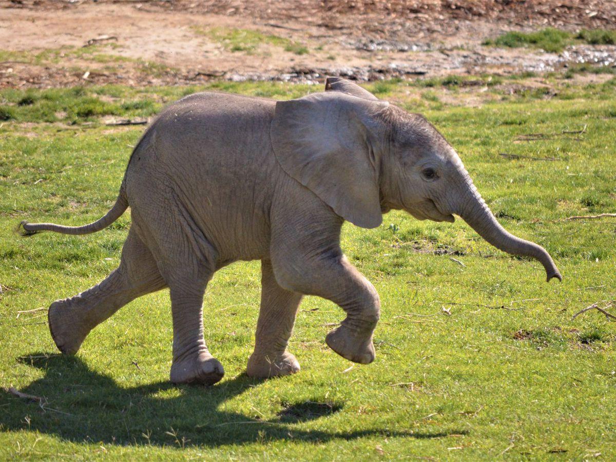 Elephant Mapenzi hits growth milestone