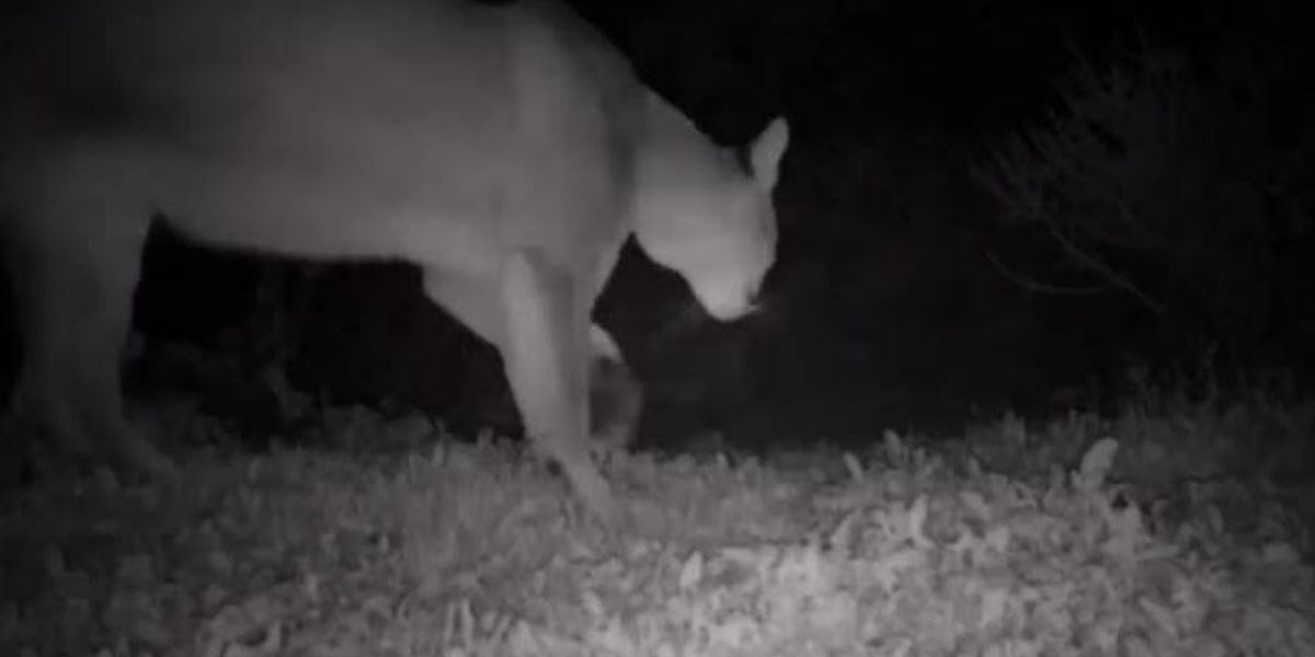 Trail video captures mountain lion near Bear Canyon