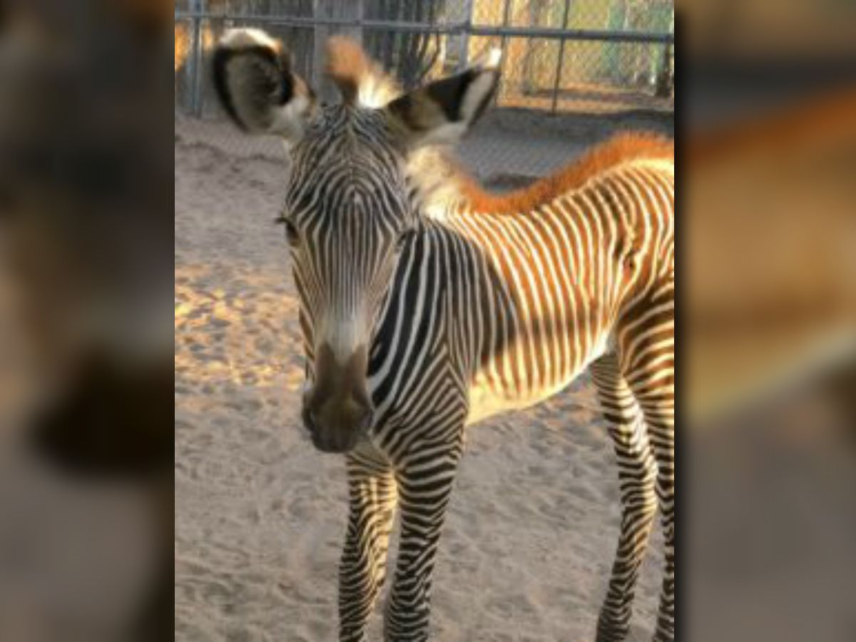 Reid Park Zoo welcomes newborn zebra on Independence Day