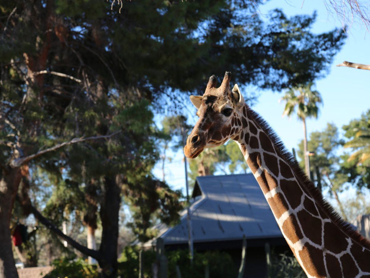 DENVER TURNS 31: Reid Park Zoo celebrates giraffe's milestone birthday