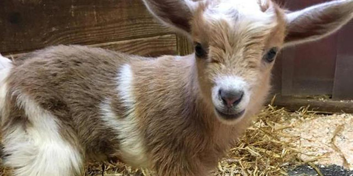 New England Zoo names goat after QB Nick Foles