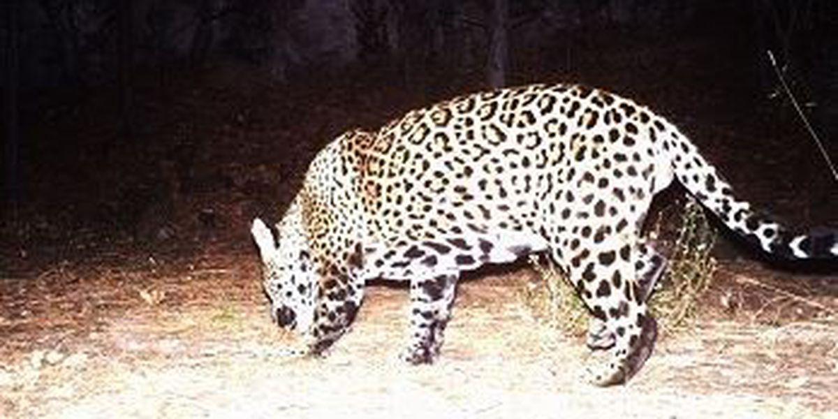 Jaguar seen on Fort Huachuca trail camera