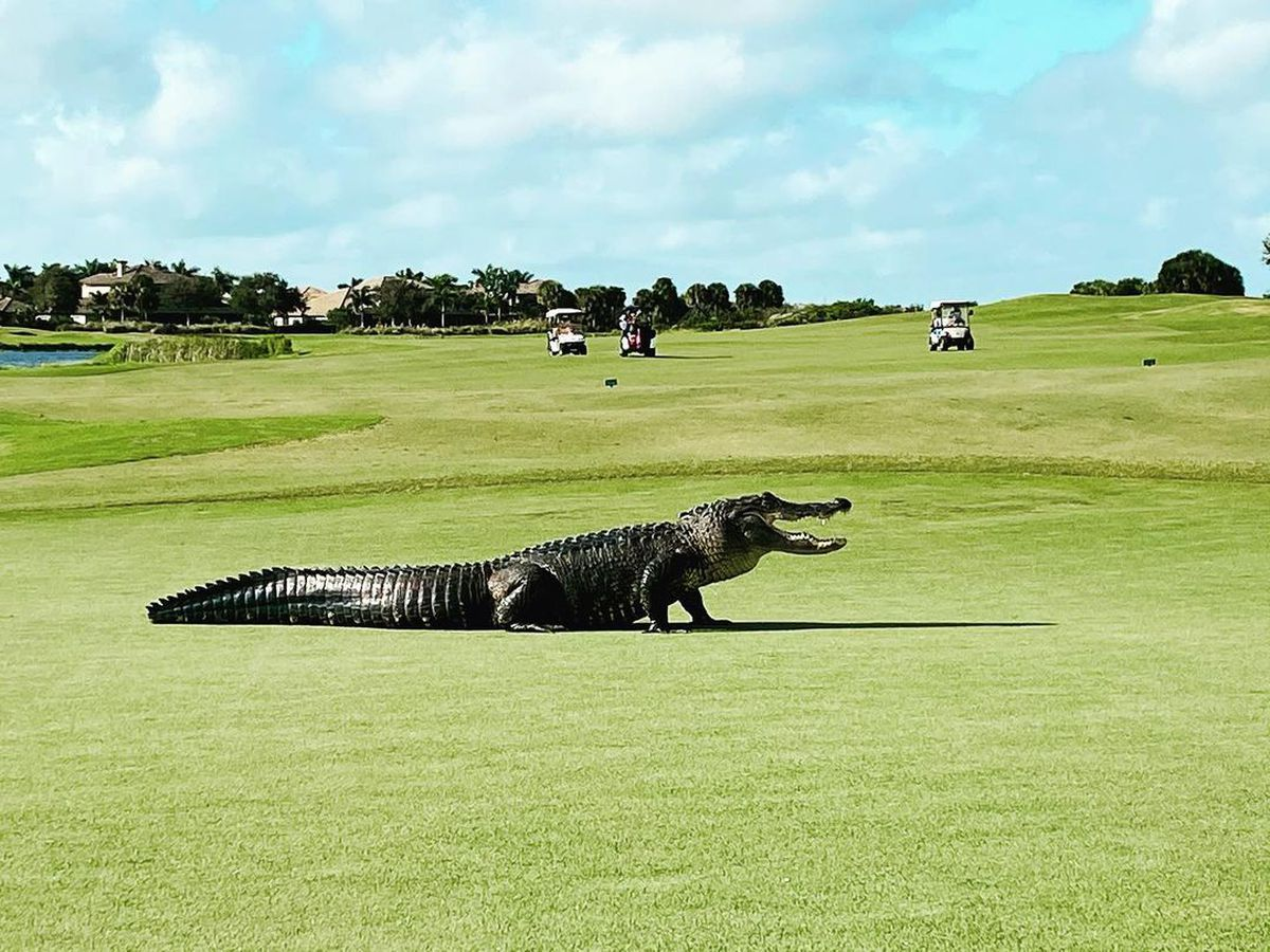 WATCH: 10-foot-long alligator strolls across Florida golf course