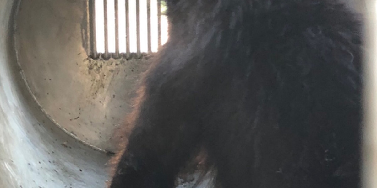 AZGFD: Bear relocated away from Mt. Lemmon