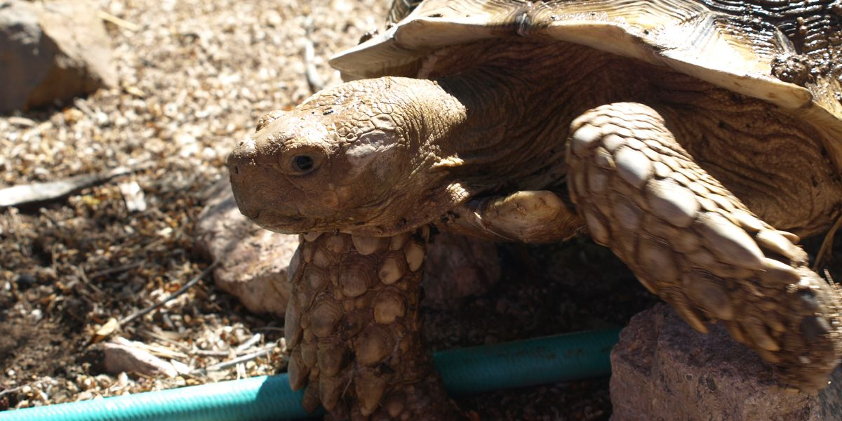 Couple looking for 60-pound tortoise release video of him being picked up, driven away