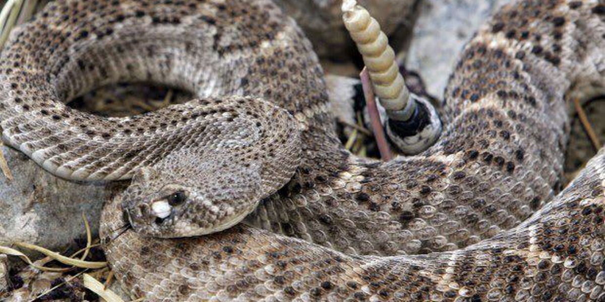 Snake activity begins to increase in southern Arizona