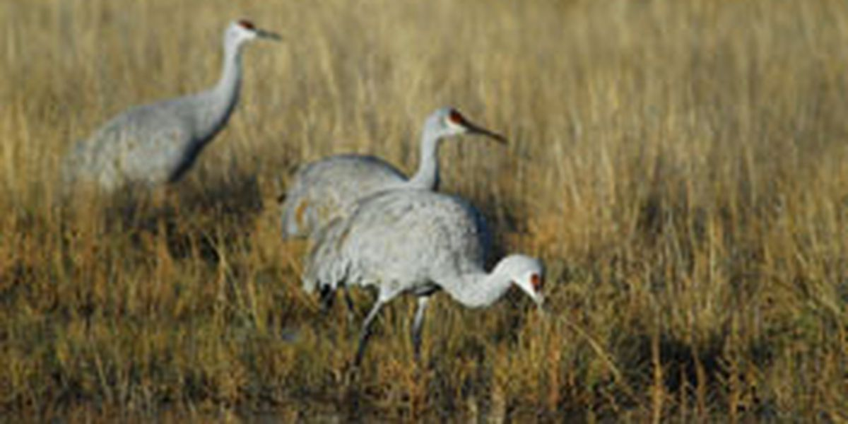 Sandhill cranes are back in Arizona for the winter