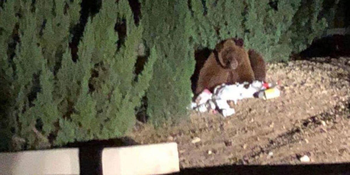 Bear sightings spike in southern Arizona; one relocated from neighborhood