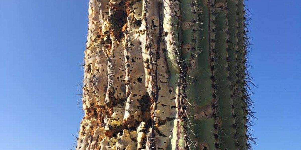 Officials: Large saguaro damaged by multiple blasts from shotgun