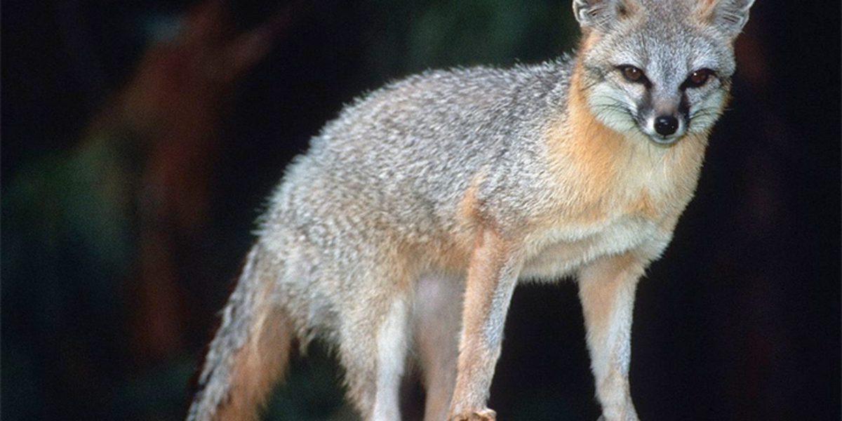 UPDATE: Fox that bit 9-year-old at Chiricahua National Monument found, euthanized