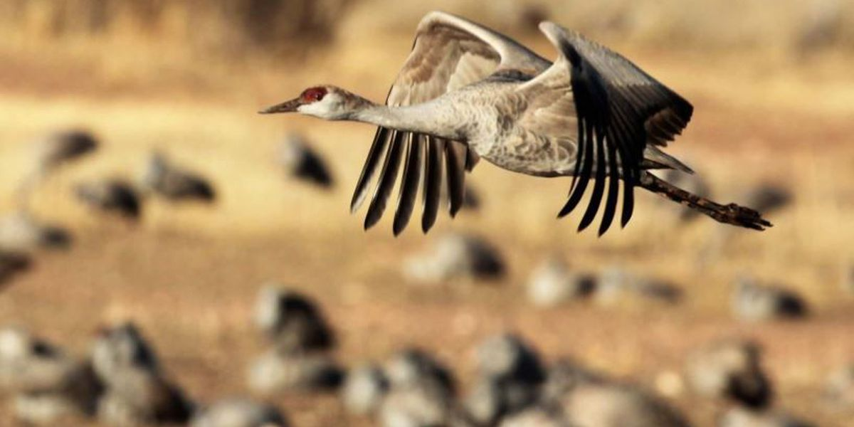 Annual return of Sandhill Cranes begins in Cochise County