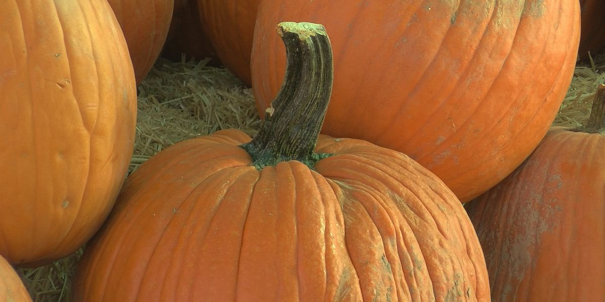 Will the record-breaking hot & dry summer impact your pumpkins?