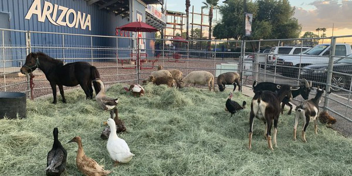 Goats and sheep BAAAAck after being chased through Tucson streets