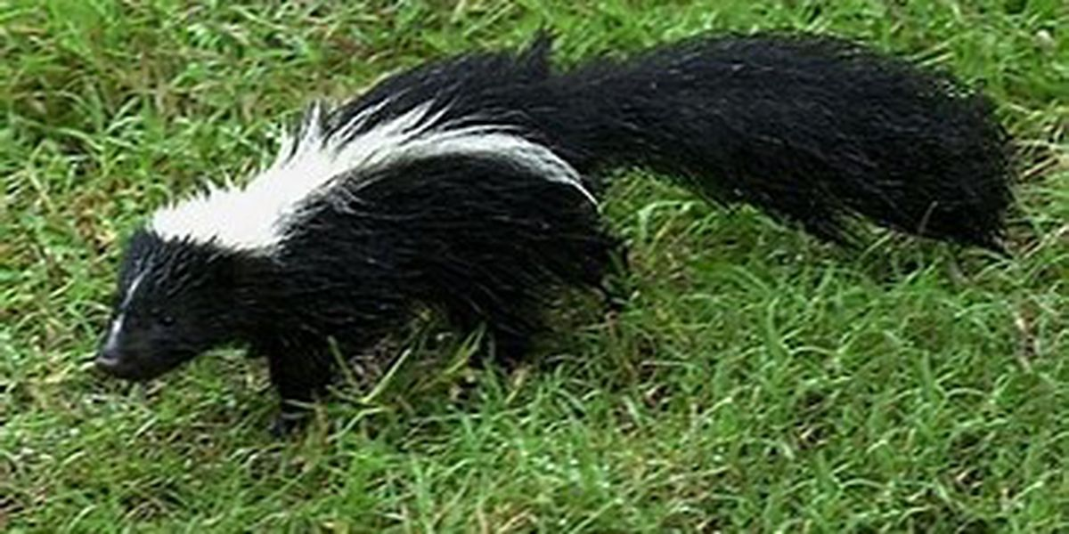 Skunks test positive for rabies in Cochise County