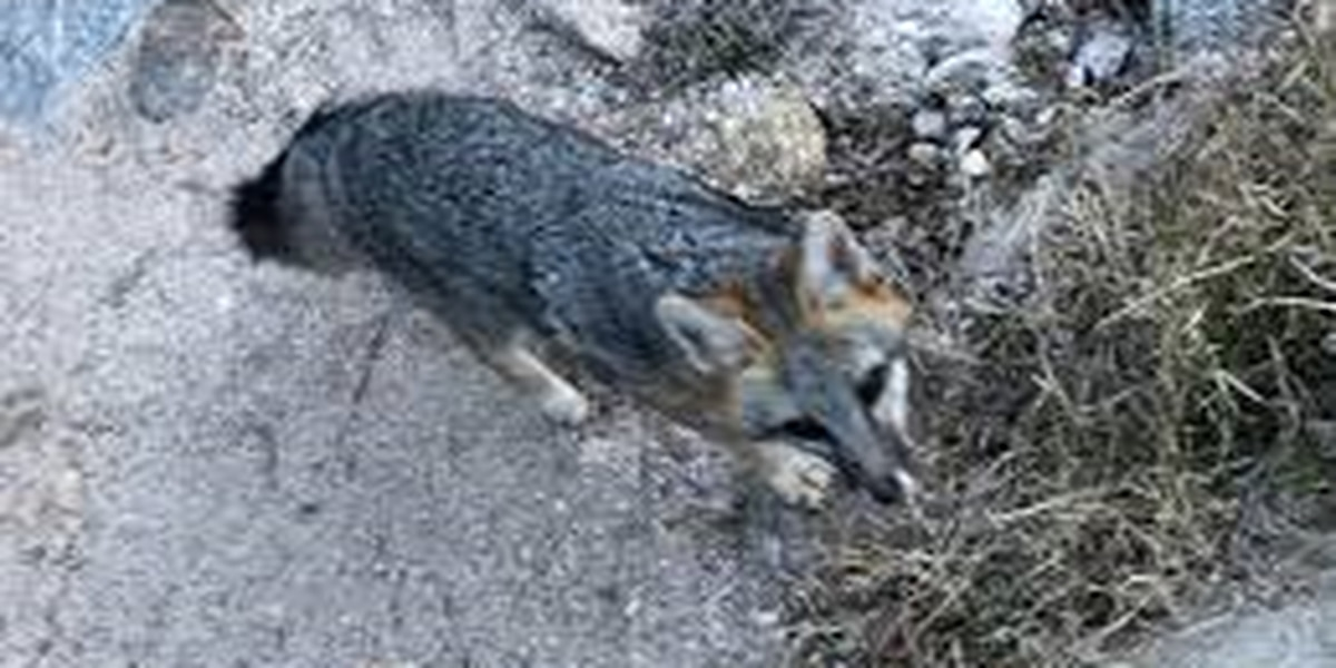 UPDATE: Fox tests positive for rabies after biting person at Sabino Canyon