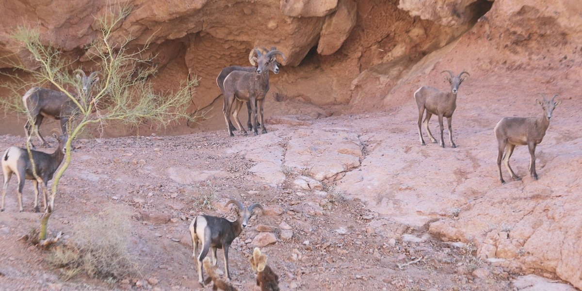 Remote watering sensor helps save bighorn sheep near Yuma
