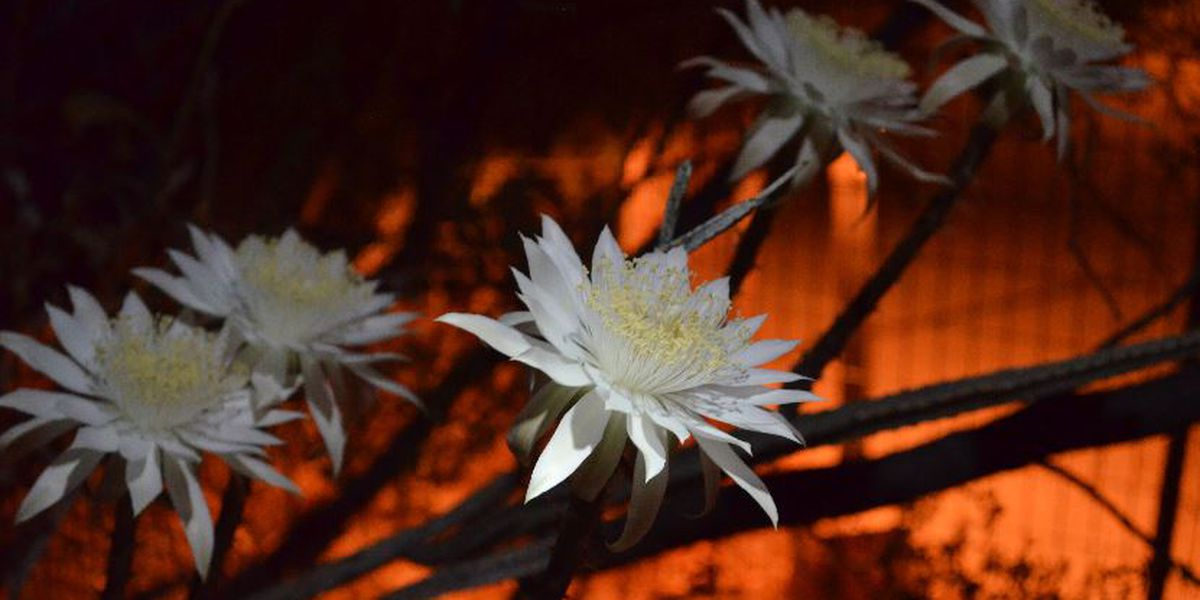 Tohono Chul: Mass blooming of the 'Queen of the Night' happening Saturday night