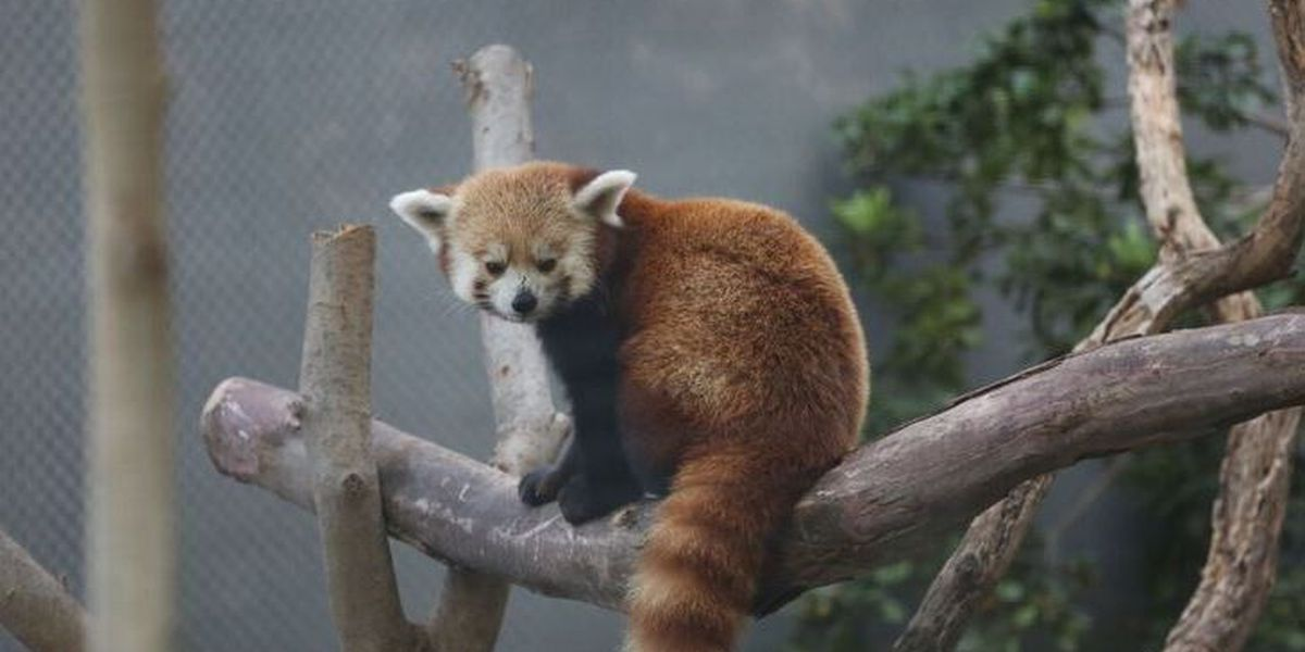 Reid Park Zoo welcomes second Red Panda as winter visitor
