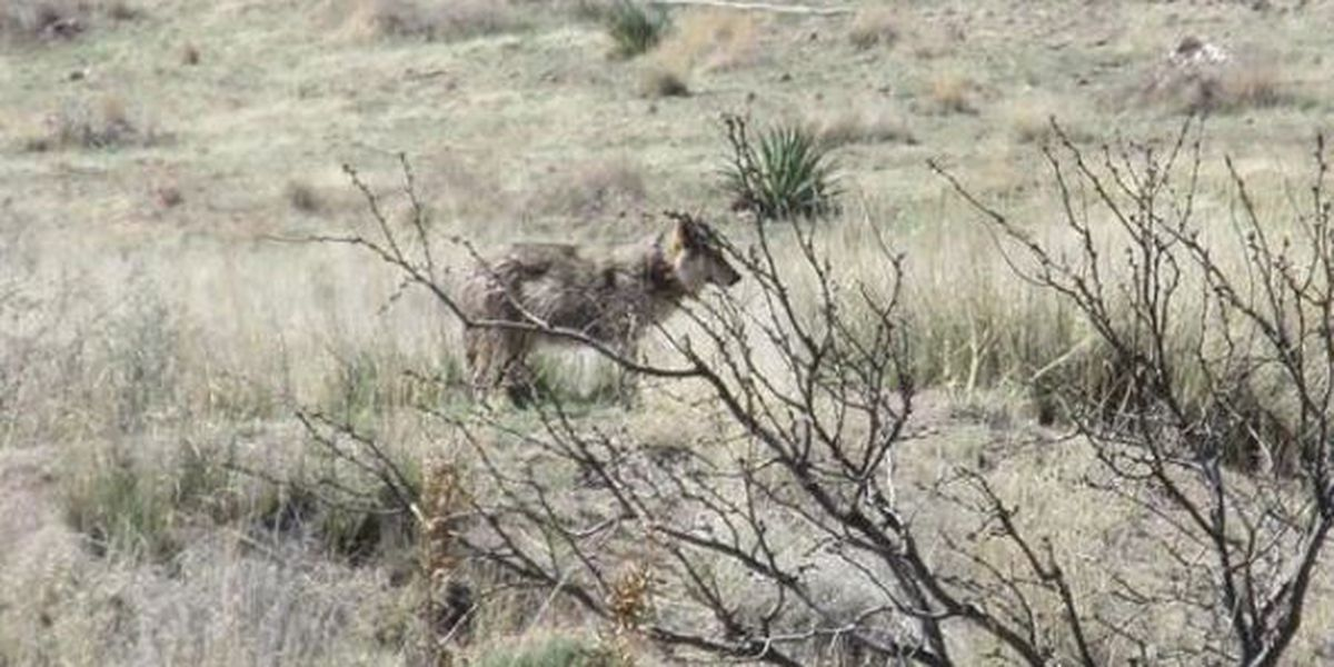 Mexican wolf captured in Chiricahua area of Arizona