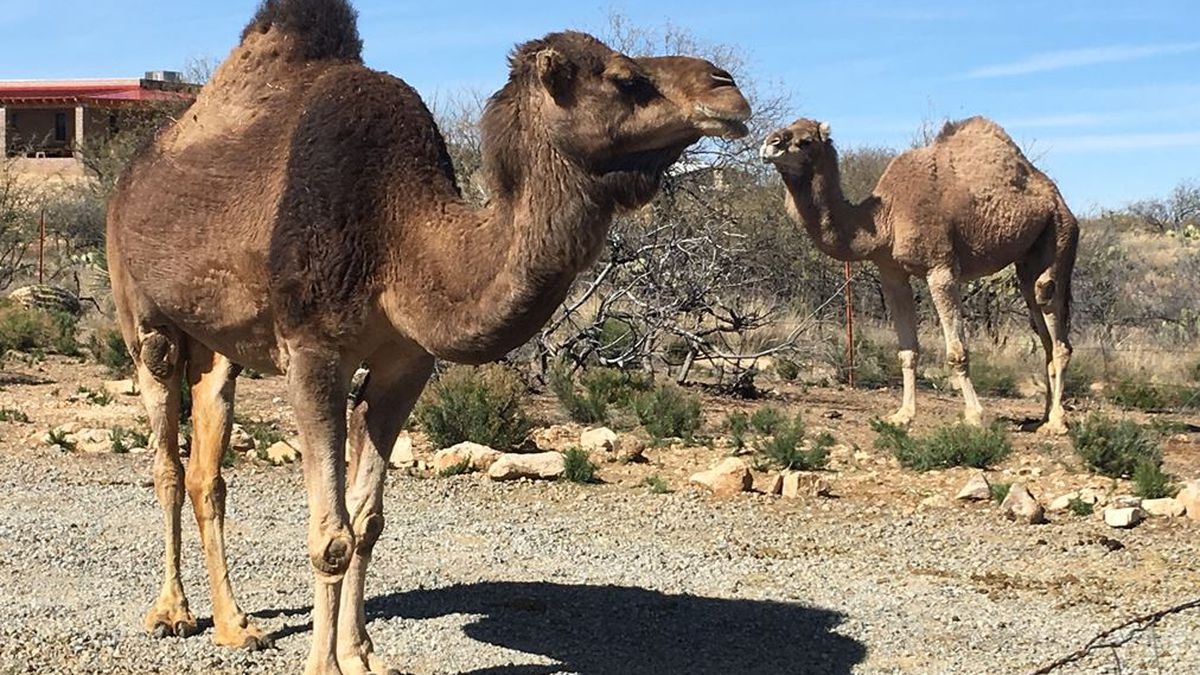 Two wayward camels back home after a bit of free roaming