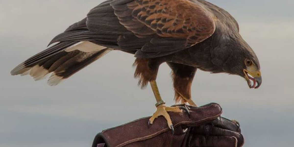 GREAT NEWS: Arizona-Sonora Desert Museum's missing hawk returns home