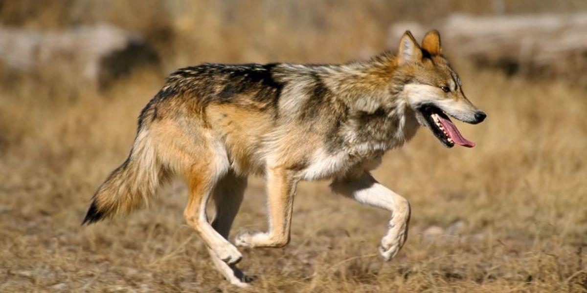 Study shows abundant high-quality wolf habitat in Mexico