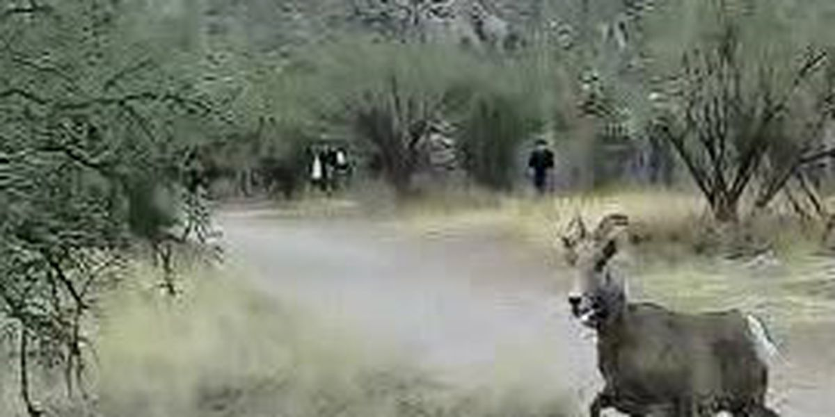 Game and Fish: Bighorn death is ninth since release