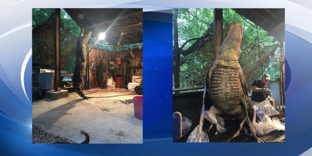 Gator weighing 360 pounds caught after chasing a kayaker in Ga.