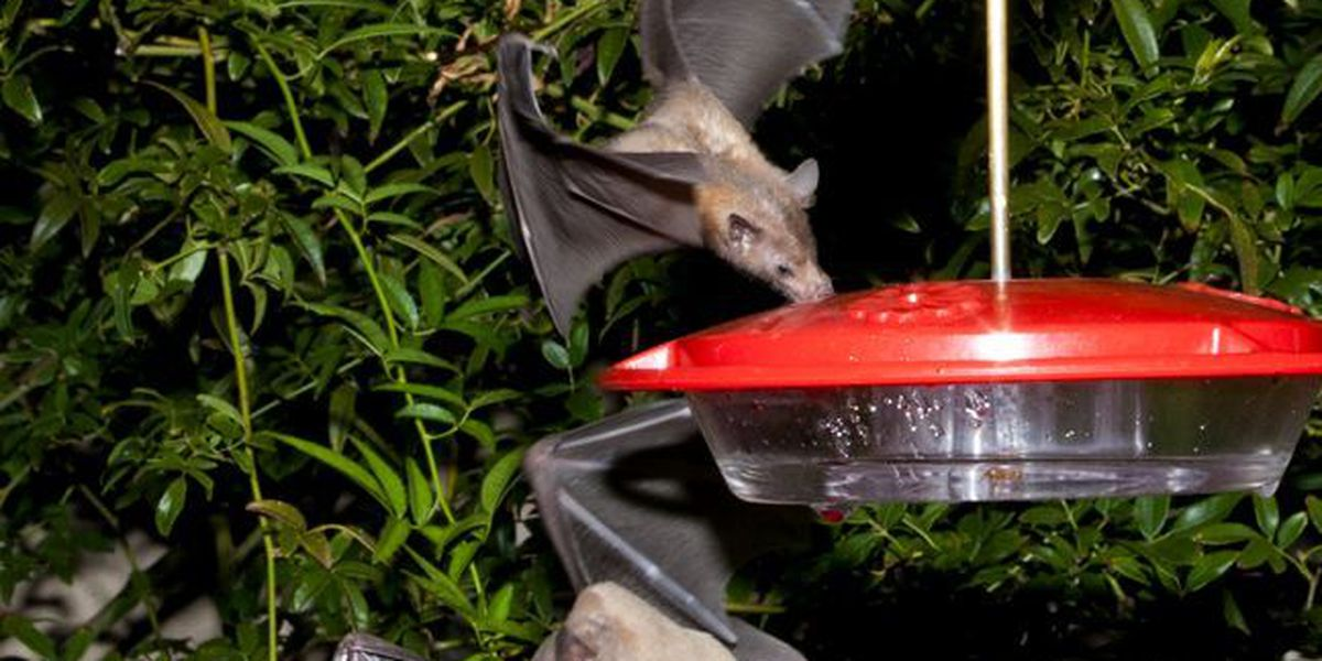 Once rare Lesser Long-nosed bat removed from endangered species list