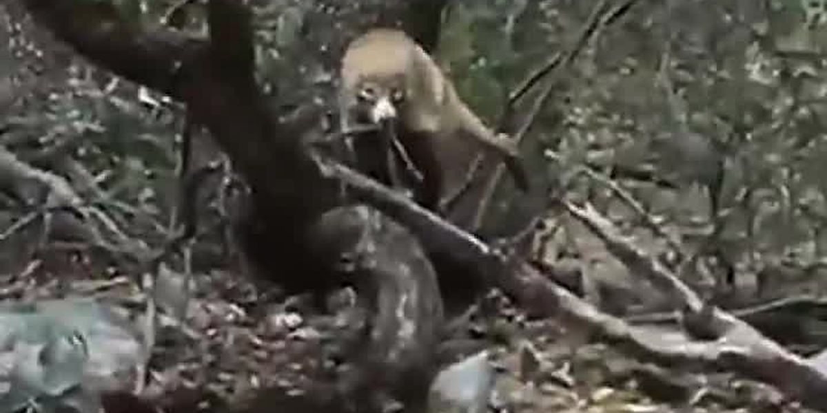 SPOTTED: A rare sighting of a white-nosed coatimundi near Fort Huachuca.