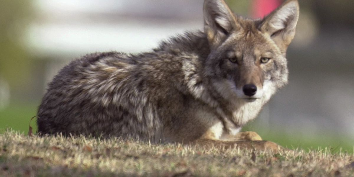 AZ Game and Fish report second coyote attack in midtown