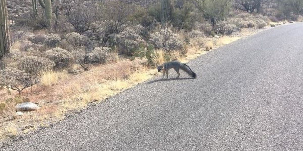 Officials looking for third victim of fox attack in Saguaro NP-East
