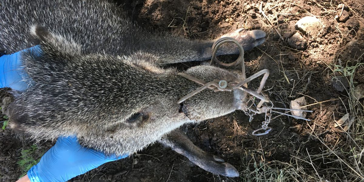 Game and Fish searching for person responsible for maiming javelina with trap