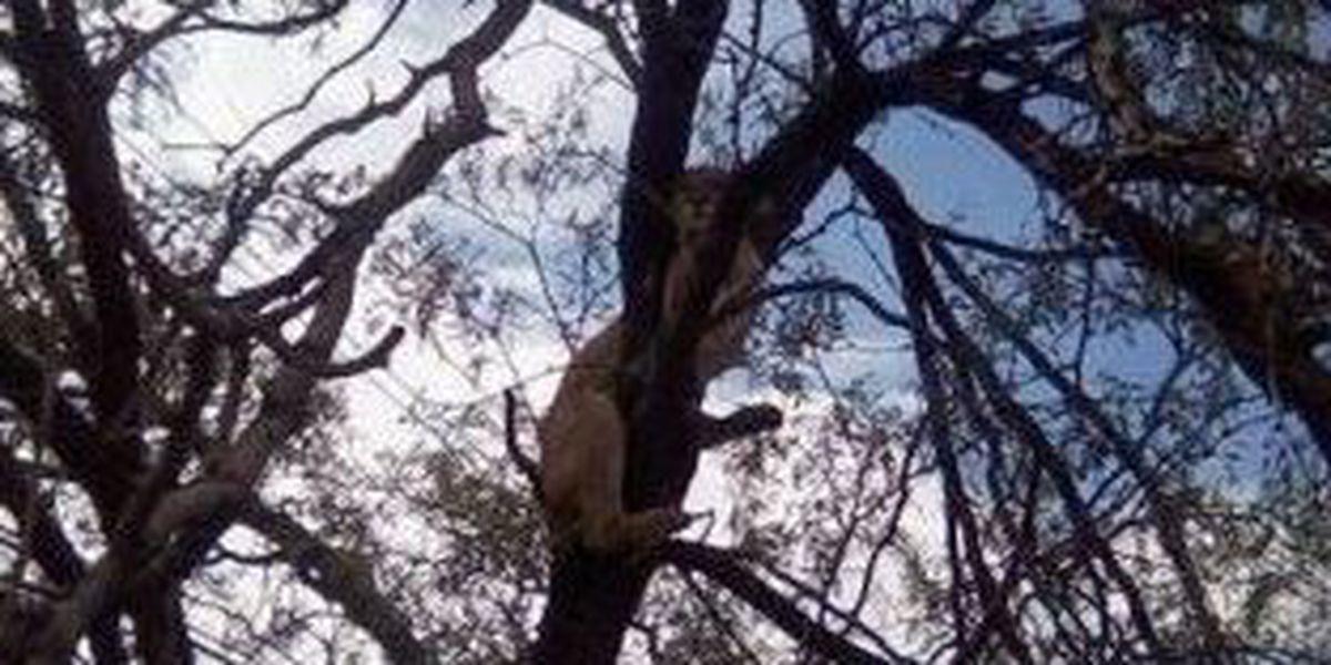 Mountain lion in Tucson backyard deemed a public safety threat