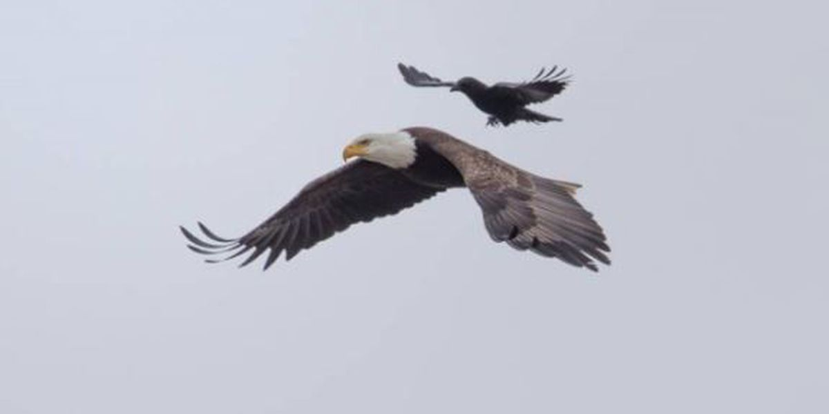 Crow hitches ride on eagle