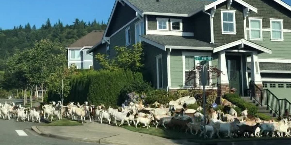 Caught on camera: Herd of goats escapes enclosure, runs through neighborhood