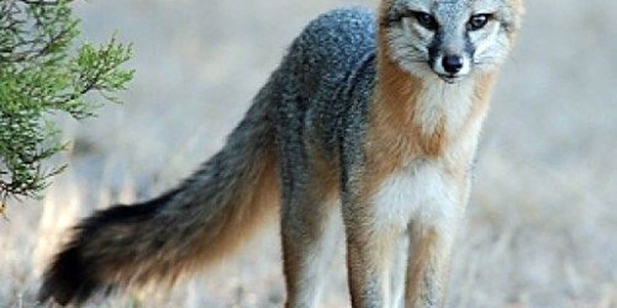 Four rabid foxes found in Cochise County