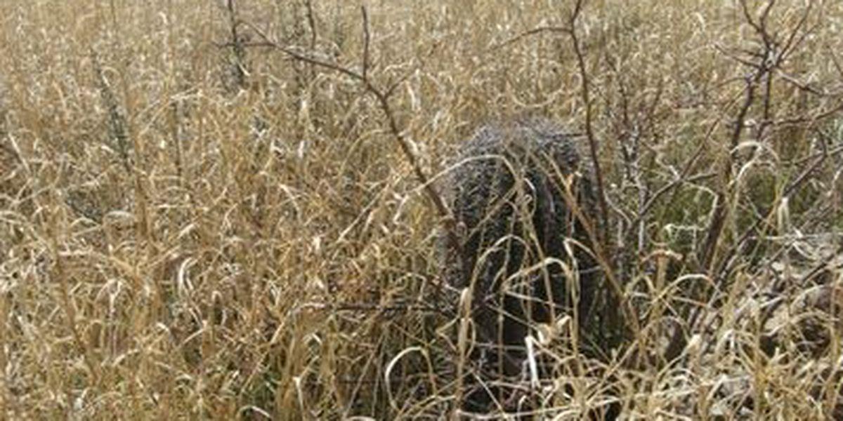 Saguaro National Park to spray for buffelgrass