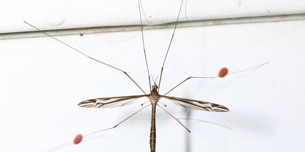WHAT IS IT? Crane flies taking over Tucson
