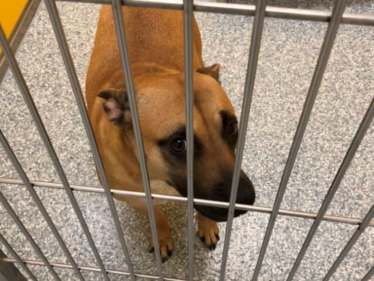PACC needs immediate fosters for a dozen dogs recovering from distemper