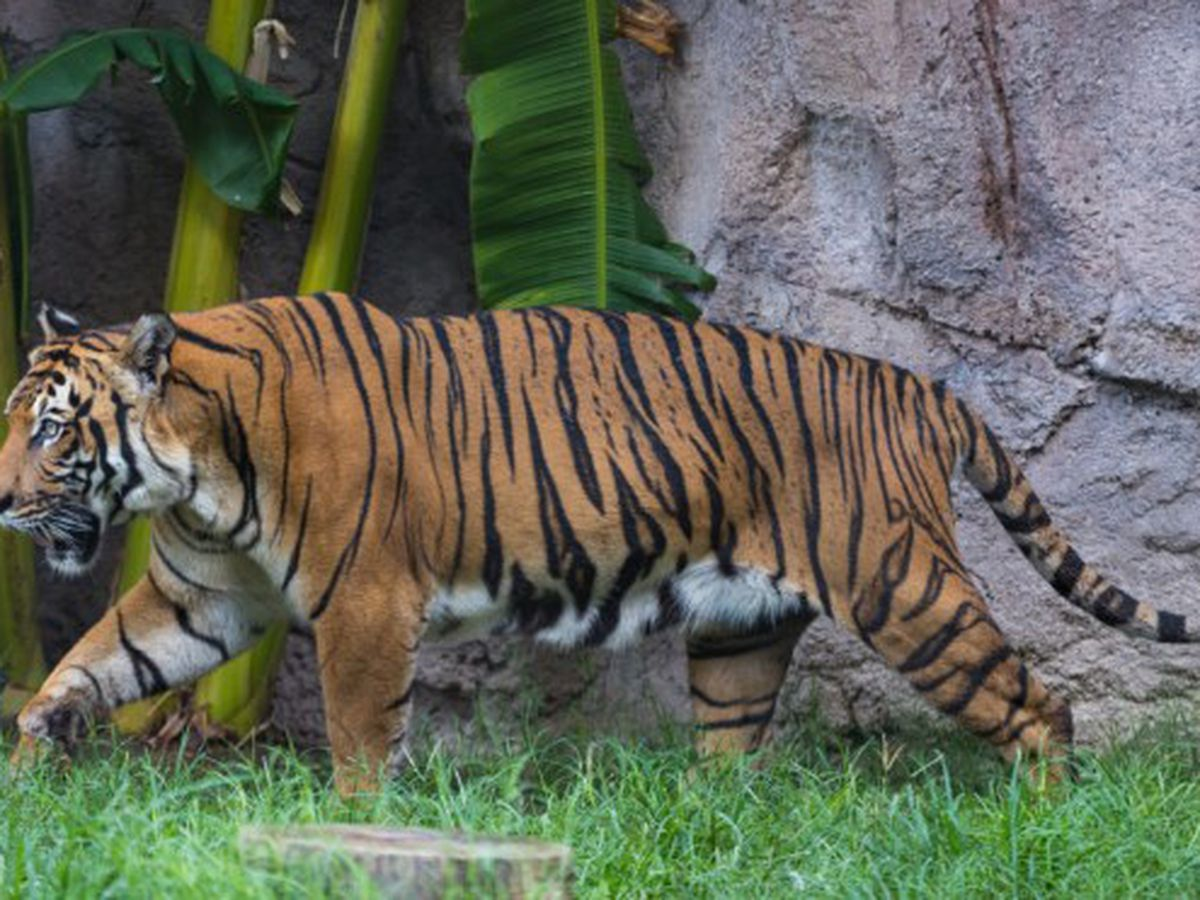 Malayan Tiger Euthanized At Reid Park Zoo