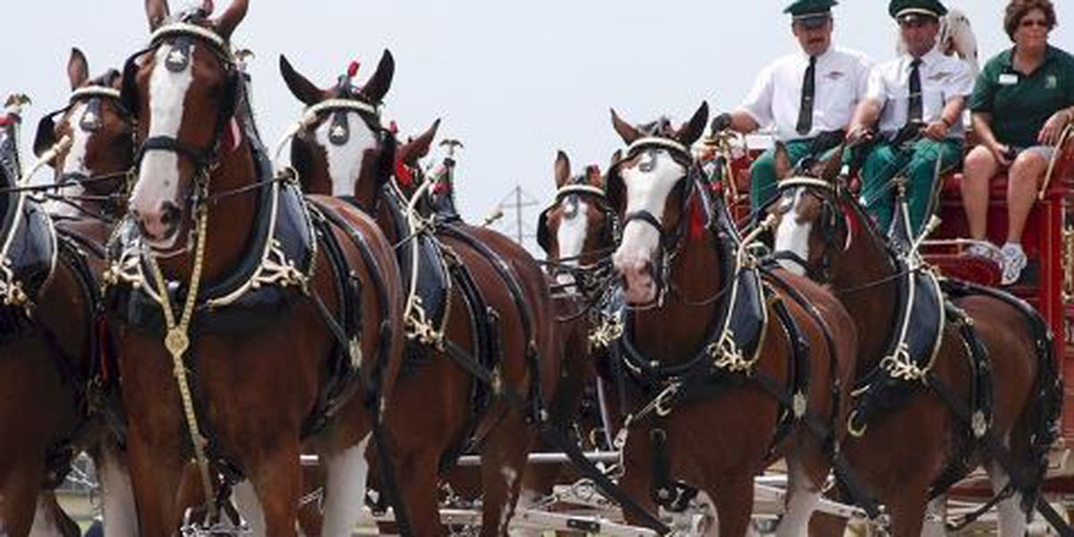Pima County Fair bringing Budweiser Clydesdales back to Tucson