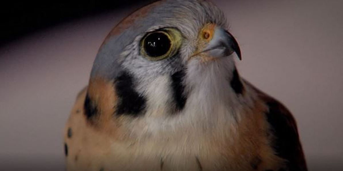 AZGFD seeks citizen scientists to aid in American kestrel project