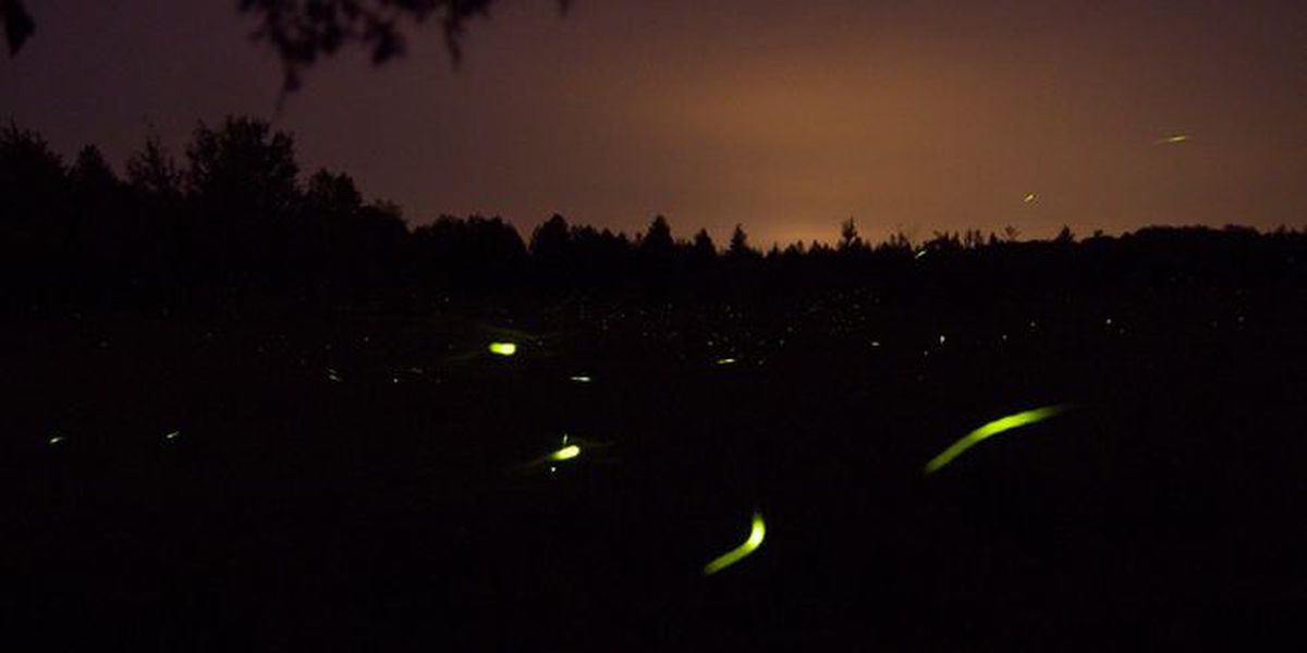 New species of firefly found in California