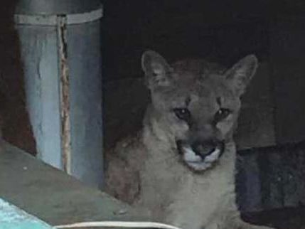 Mountain lion spotted for months near Patagonia; killed by AZGFD