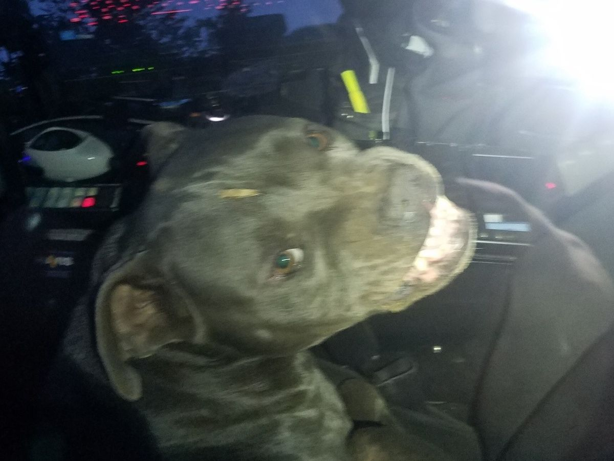 Pit bull 'hijacks' police officer's patrol car