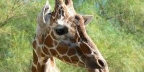 Giraffe dies at Reid Park Zoo following respiratory problems