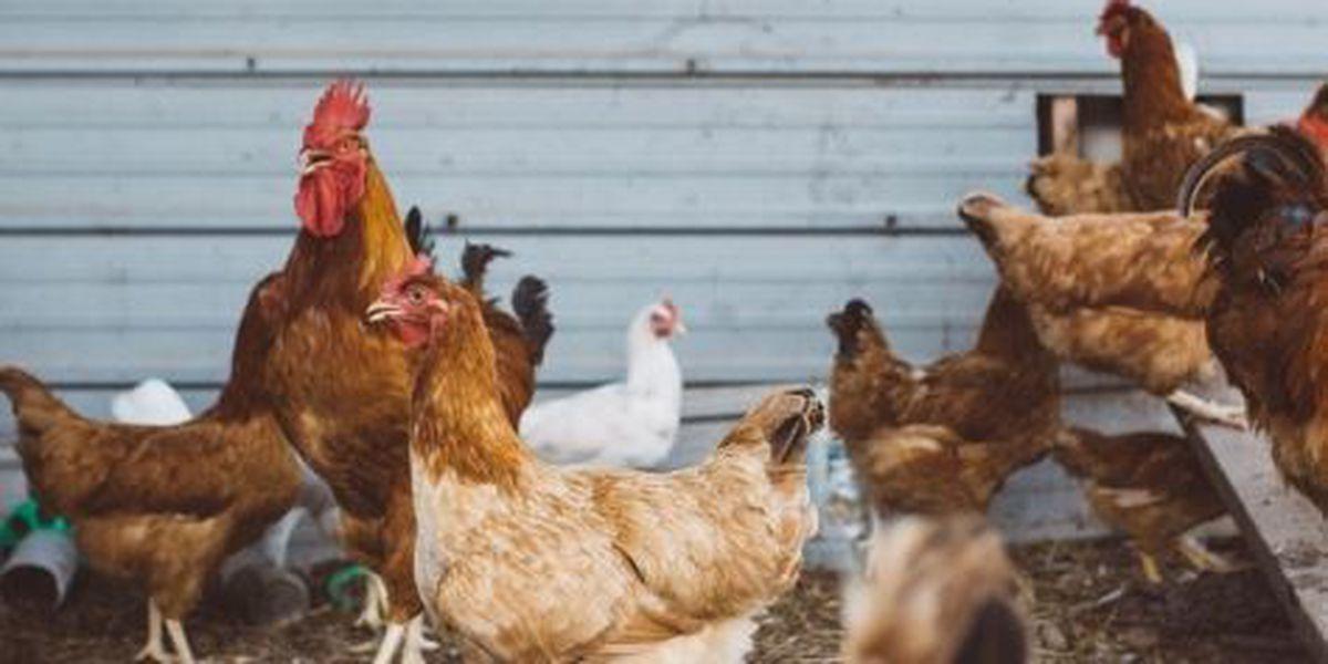 Cambio de código aprueba la crianza de pollos en el condado