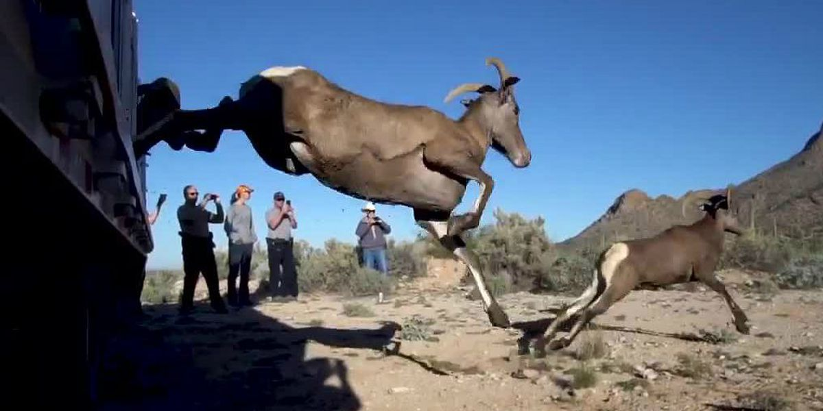 Bighorn sheep released near Picacho Peak in effort to reestablish herd in historic range